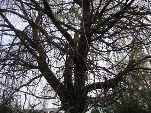 Au fil des arbres, taille des arbres pays basque 9