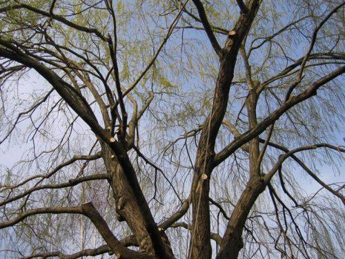 Au fil des arbres, taille des arbres pays basque 13